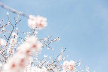 桜イメージ広告素材撮影モデル募集!の画像